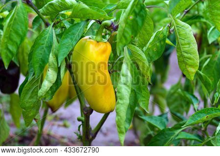 The Pepper Plant Ripens In The Garden. Bacterial Diseases Or Pests Of Vegetable Crops.