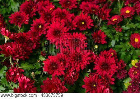 Red Burgundy Chrysanthemum Flowers Bush Autumn Background. Colorful Chrysanthemum Plants Pattern In