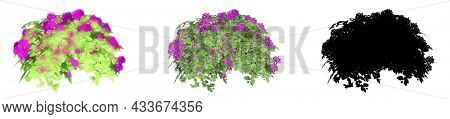 Set or collection of  Bougainvillea bushes, painted, natural and as a black silhouette, isolated on white background. Concept or conceptual 3d illustration for summer nature, ecology and conservation