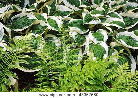 Ferns And Hosta Plants