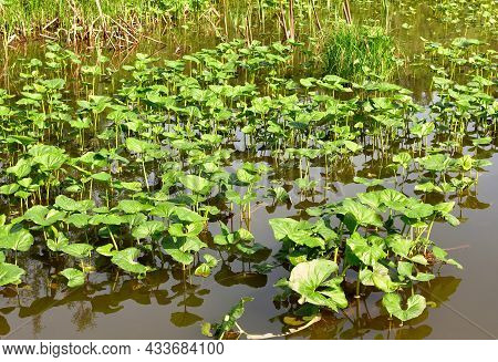 Green Water Lily Leaves In The Pond Water In The Sunlight. Spring, Purity And Freshness, Nature Of S