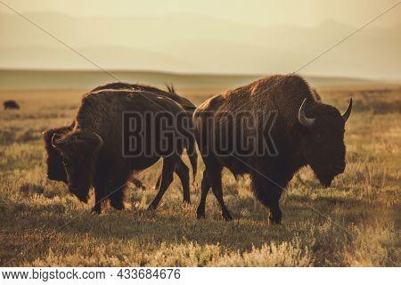 Herd Of North American Bisons During Sunset. Colorado Prairie Wildlife. United States Of America. Bu