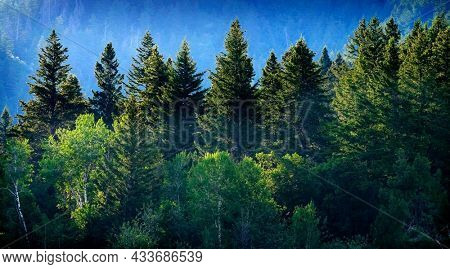 Pine forest in wilderness mountains pine trees new growth green greenery grain field farming