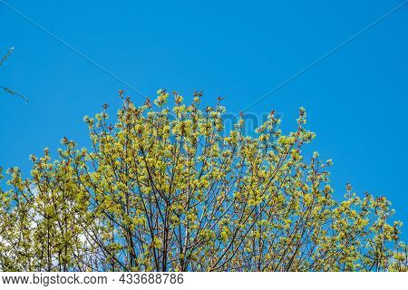 Spring Branches With Fresh Green Leaves On A Background Of Blue Sky. Spring Leaves And Blue Sky As B