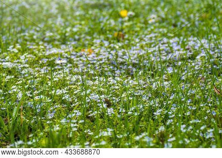 Field Of Beautiful Blue Flowers Of Veronica Chamaedrys Or Germander Speedwell, Bird's-eye Speedwell,