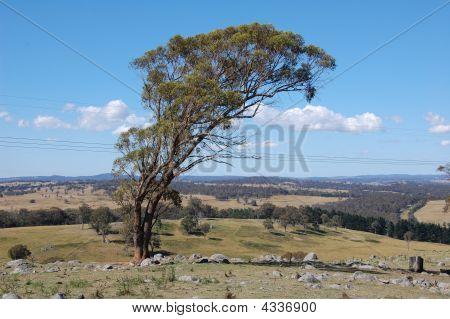 Australian Tress