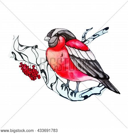 Lovely Winter Bird. Cute Bullfinch On A Viburnum Branch. Beautiful Bird With Red Feathers Sits On A