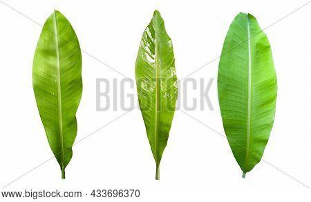 Small Green Banana Leaves (3), White Background, Isolated, Bangkok, Thailand.