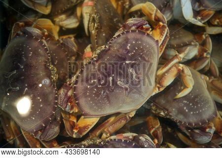 Dungeness crab. Rock Crab AKA Stone Crab. Live Crab for sale at a Open Air Market. Sea Food Market.