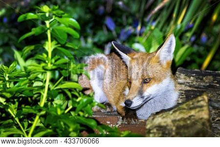 Red fox cub, vulpes vulpes, crouched on a garden wall. This is a young pup venturing into a city garden at night. Foxes are mainly nocturnal and will come out at night to hunt or scavenge for food.