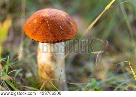 Leccinum Aurantiacum Mushroom, Boletus. Edible Mushroom Growing In The Autumn Fox.
