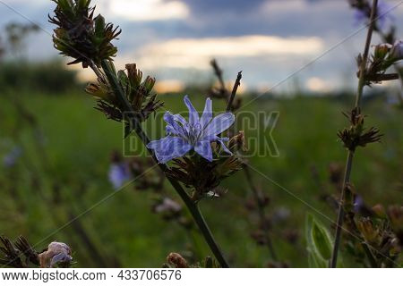 Common Chicory At Sunset. Focus On Blue Flower In The Background Of Meadow And Sky With Clouds.