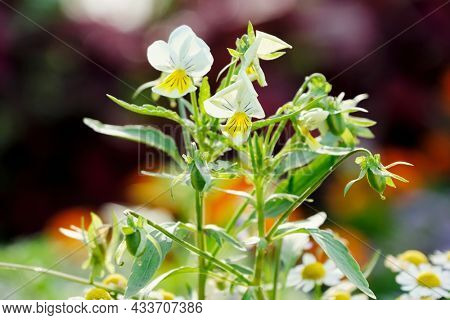 Closeup of pansy flowers, shallow depth of field