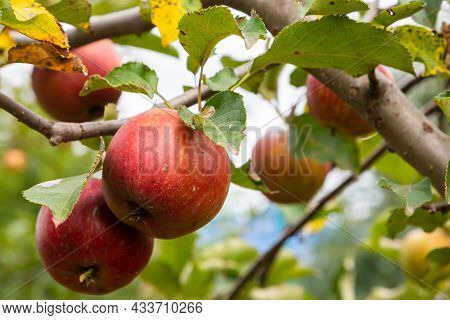 Branch Of Ripe Apples On A Tree In A Garden