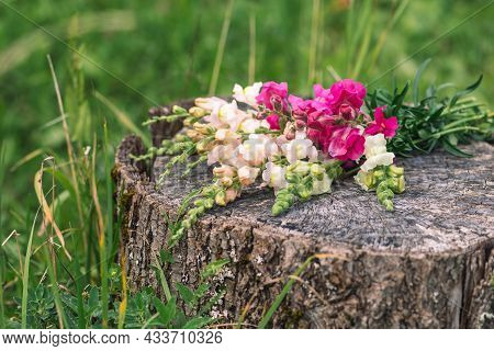 Bouquet Of Beautiful Colorful Spring Or Summer Garden Snapdragon Flowers Placed On An Old Tree Trunk