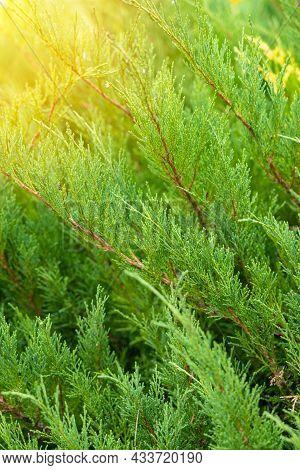 Juniper Bush Close-up, Green Foliage And A Sunbeam