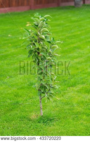 A Young Apple Sapling Grows On The Lawn In The Backyard Of The House