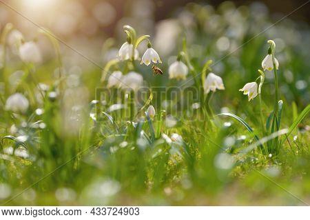 Spring Flowers In The Shining Sunlight, Leucojum Vernum, Called Spring Snowflake. Honey Bee Near.