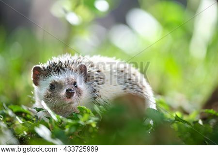 Small African Hedgehog Pet On Green Grass Outdoors On Summer Day. Keeping Domestic Animals And Carin
