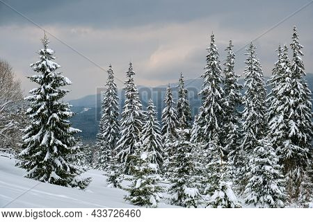 Pine Trees Covered With Fresh Fallen Snow In Winter Mountain Forest In Cold Gloomy Evening.