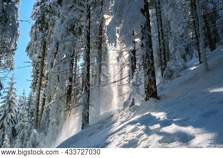 Bright Sunny Landscape With Falling Snow Between Pine Trees During Heavy Snowfall In Winter Dense Fo