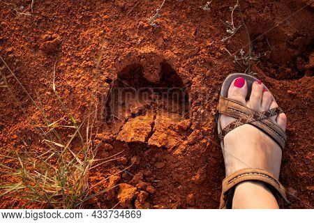 Photo From Above Of Woman's Foot Next To Cloven Hoof Footprint   Close Top Down Photo Of Female Foot