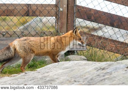 Red Fox In Front Of Mesh Fence