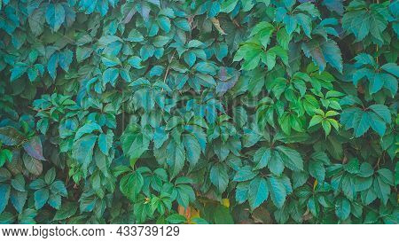 Green Large Ivy Leaves On The Wall - Plant Background