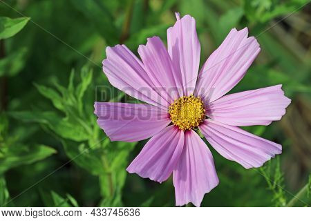 Pink Cosmos, Cosmos Bipinnatus Of Unknown Variety, Flower In Close Up With A Yellow Centre And A Bac