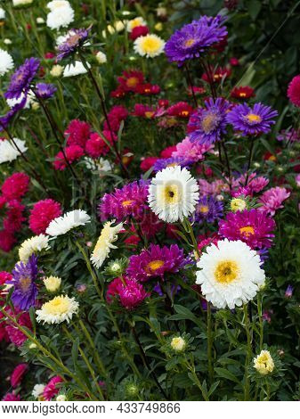 Pink, White, Purple Asters In The Flowerbed. Bright Autumn Flowers Adorn The Garden. Joy.
