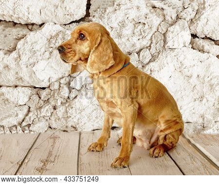 A Well-groomed English Cocker Spaniel Dog Sits On The Background Of A Stone Wall