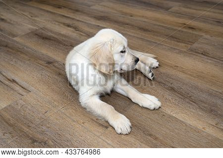 A Golden Retriever Puppy Lies On Modern Vinyl Panels In The Living Room Of The House, The Pup Is Loo