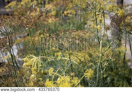 Fresh Dill Grows In The Garden. An Annual Herbaceous Plant. Growing Fresh Herbs. Green Plants In The