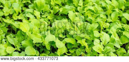 Radishes Growing In The Garden, Close-up Of Foliage