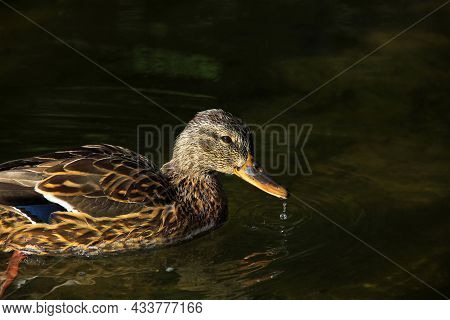 Duck Close Up. Beautiful Duck In The Water. The Bird Swims
