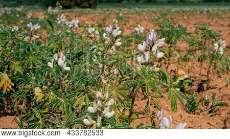 Blooming Lupine Flower. Lupin With Purple And Blue Flower At Agricultural Field