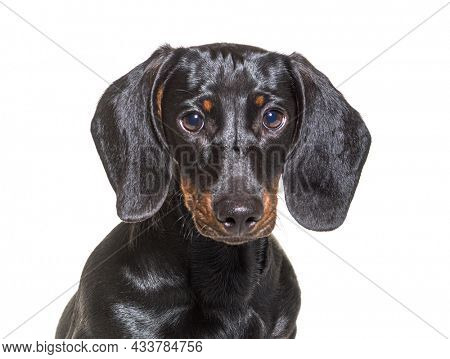 head shot of dachshund dog, sitting in front of white background