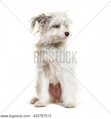 White Yorkie-Pom isolated on white. mixed breed Pomeranian and Yorkshire Terrier