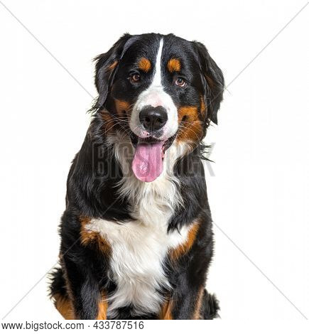 Close up on Tricolor Bernese Mountain Dog sitting, looking at camera and panting isolated on white