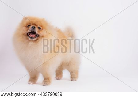Miniature Pomerenian Spitz Dog. Cute Pomeranian Red Color Dog Isolated On White Background, Studio S