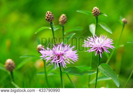 Wild Plant With Beautiful Round Purple Flowers. Cornflower Brown On Blurred Natural Green Background