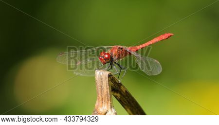 Scarlet Dragonfly (Crocothemis erythraea) is a species of dragonfly in the family Libellulidae. Its common names include broad scarlet, common scarlet darter.