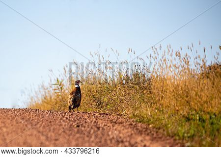 Ring-necked Pheasent (phasianus Colchicus) Standing On A Gravel Road In Wisconsin, Horizontal