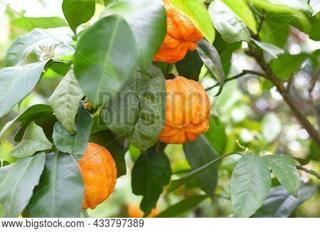 Bitter Orange Fruit Kikudaidai Growing In Japan.