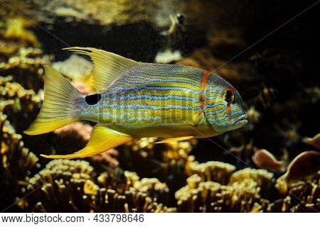 Sailfin snapper Symphorichthys spilurus blue-lined sea bream fish underwater in sea with corals in background