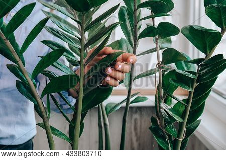 Wet Home Plants After Spraying Close-up. Woman Spraying Zamioculcas Houseplant, Moisturizes Leaves D