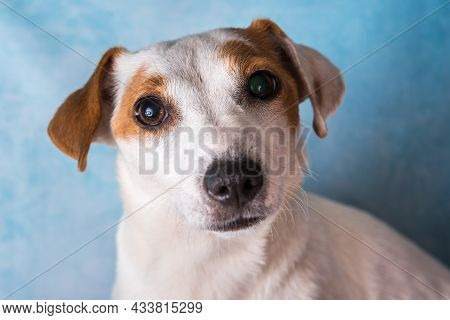 Jack Russell Terrier Female Close Up Portrait