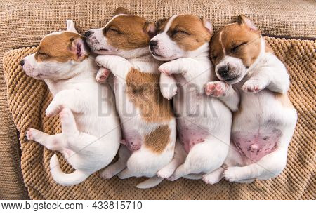 Cute Jack Russell Terrier Puppies Sleep Sweetly On A Soft Bed
