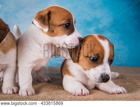 Two Jack Russell Terrier Puppies In Front Of Blue Background