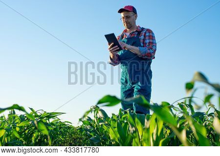 Caucasian Middle Age Farm Worker Using Tablet Computer At Maize Field